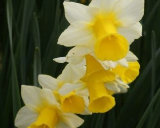 narcissus-golden-echo-jonquilla-narcisz