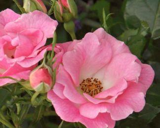 Roselina bokorrózsa
