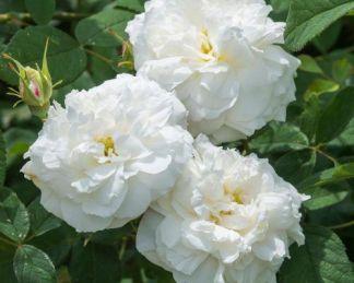 susan_williams_ellis angol rózsa