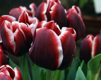 Tulipa 'Armani' Triumph tulipán
