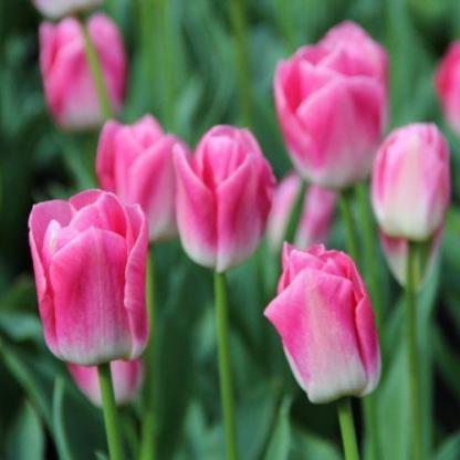 Tulipa 'Dynasty' Triumph tulipán