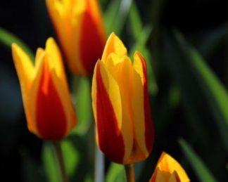 Tulipa Goudstuk Kaufmanniana tulipán