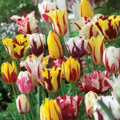 Tulipa 'Happy Generation' - Triumph tulipán