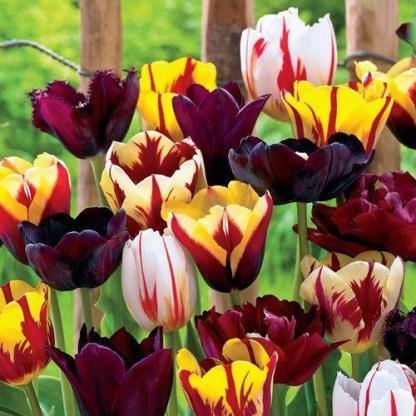 Tulipa 'Helmar' - Triumph tulipán