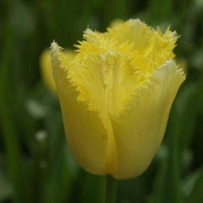 Tulipa 'Maja' - rojtos tulipán