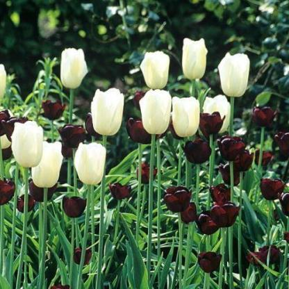 Tulipa 'Maureen' - Triumph tulipán