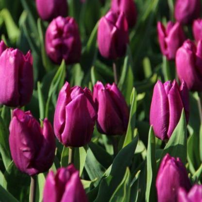 Tulipa 'Purple Prince' - Triumph tulipán