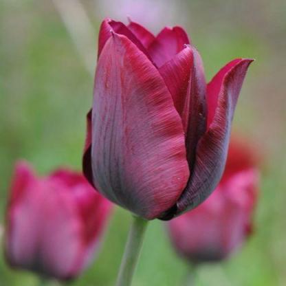 Tulipa 'Ronaldo' - Triumph tulipán