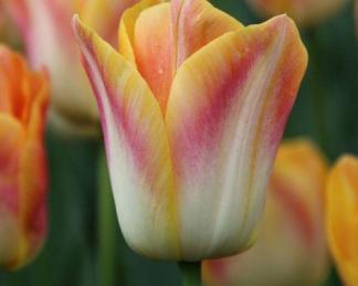 Tulipa 'Salmon Dynasty'- Triumph tulipán