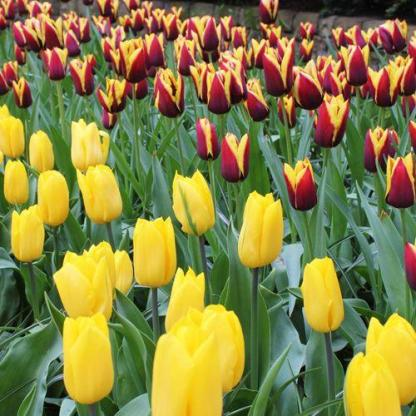 Tulipa 'Strong Gold' - Triumph tulipán