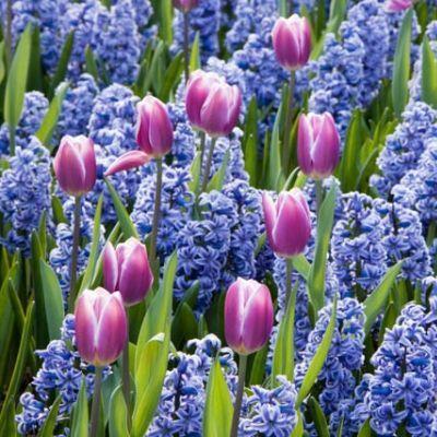 Tulipa 'Synaeda Blue' - Triumph tulipán