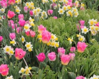 'Tom Pouce' és 'Laurens Koster' - tulipán és nárcisz társítása