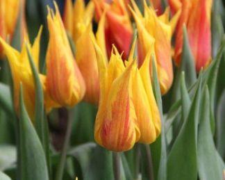 Tulipa Vendee Globe liliomvirágú tulipán