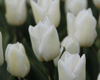 Tulipa 'White Prince' - Triumph tulipán