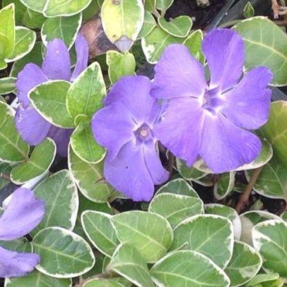 vinca-minor-variegata-kis-meteng