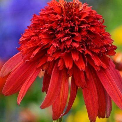 Echinacea-hot-papaya-kasvirág