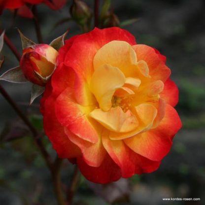 Firebird floribunda ágyásrózsa