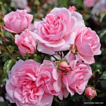 Home_und_Garden floribunda rózsa