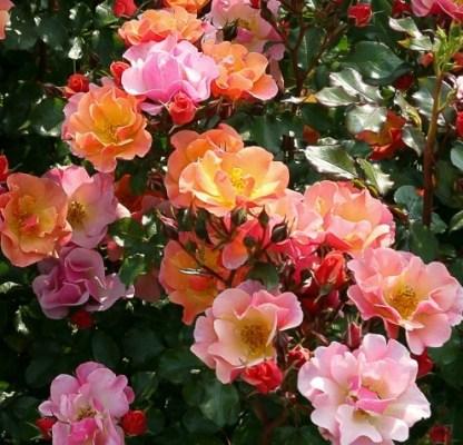 jazz talajtakaró rózsa