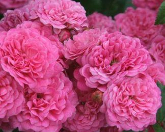 Pepita miniatűr rózsa