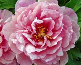 Paeonia Itoh 'Pink Double Dandy' - Itoh bazsarózsa hibrid