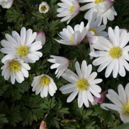 anemone-blanda-white-splendour-csinos-szellőrózsa