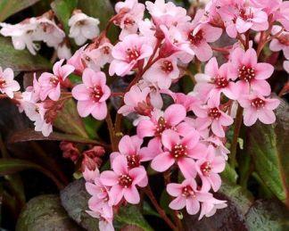 bergenia-cordifolia-pink-dragonfly-szívlevelu-borlevel