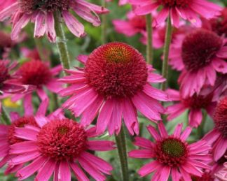 echinacea-delicious-candy-kasvirag