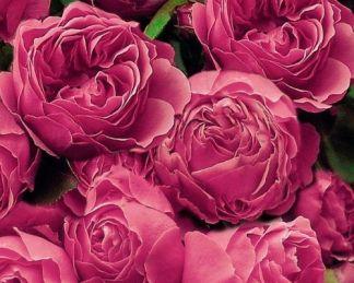 Leonardo_da_vinci ágyás rózsa
