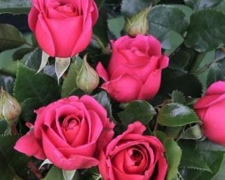 Love-Letter ágyás rózsa