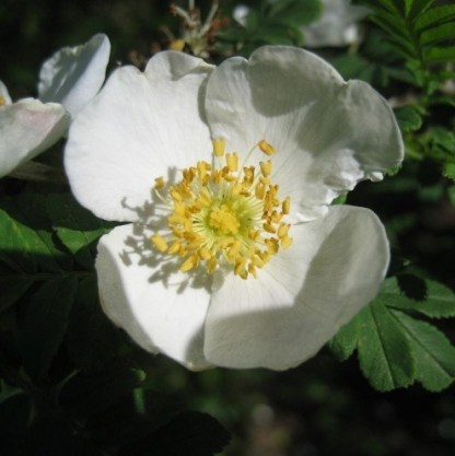 Rosa omeiensis Pteracantha vadrózsa
