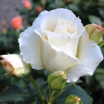 schneewalzer fehér futórózsa
