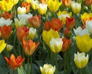 Orange Emperor, Sweetheart, Purissima, Yellow Purissima - Fosteriana tulipán válogatás