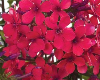 phlox-paniculata-sweet-summer-red-bugas-langvirag