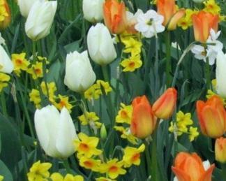 Sárga tulipán és nárcisz válogatás