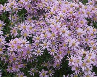 Aster-pringlei-Pink-Star-oszirozsa