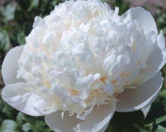 Paeonia lactiflora 'Bridal Gown' - lágyszárú bazsarózsa