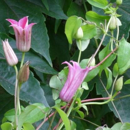 Clematis texensis 'Duchess of Albany' – hálós iszalag virágai és bimbói
