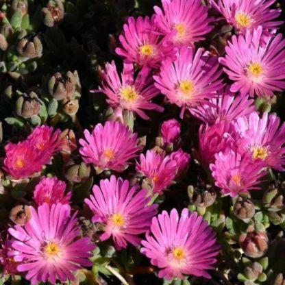Delosperma Jewel of Desert-candystone-delvirag