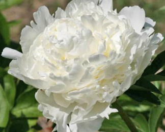 Paeonia lactiflora 'Ivory Victory' - lágyszárú bazsarózsa