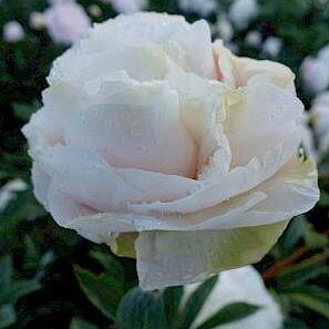 Paeonia lactiflora 'Madame Edouard Doriat' - lágyszárú bazsarózsa