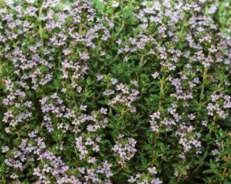 Thymus_vulgaris-standard-winter-kerti-kakukkfu