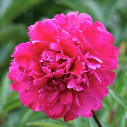 Paeonia lactiflora 'Victoire de la Marne' - lágyszárú bazsarózsa