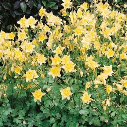 aquilegia-caerulea-spring-magic-yellow-haranglab