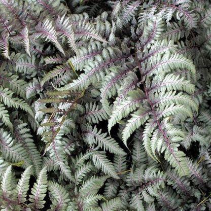 athynium-niponicum-silver-falls-japan-pafrany