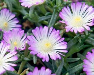 delosperma-wheels-of-wonder-violet-wonder-delvirag