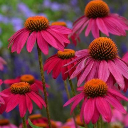 echinacea-purpurea-powwow-wild-berry-kasvirag2