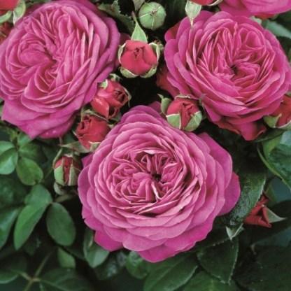 heidi-klum miniatúr rózsa