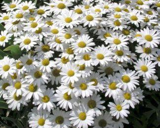 leuchanthemum-superbum-snow-lady-margareta