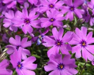 phlox-subulata-purple-beauty-arlevelu-langvirag